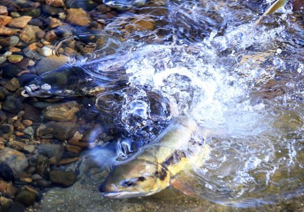 『鮭広報1』の画像