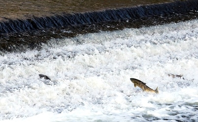 『鮭の遡上』の画像