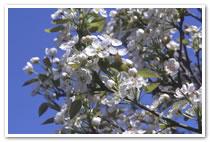 Spring : Pear flower