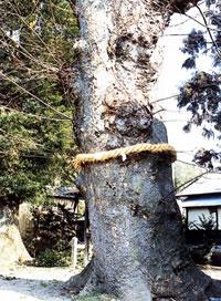 関本神社の欅(せきもとじんじゃけやき)