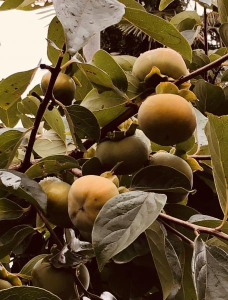 『柿の木』の画像