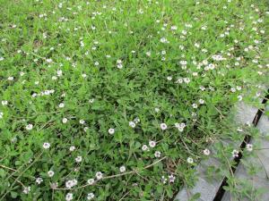 『いわだれ草』の画像