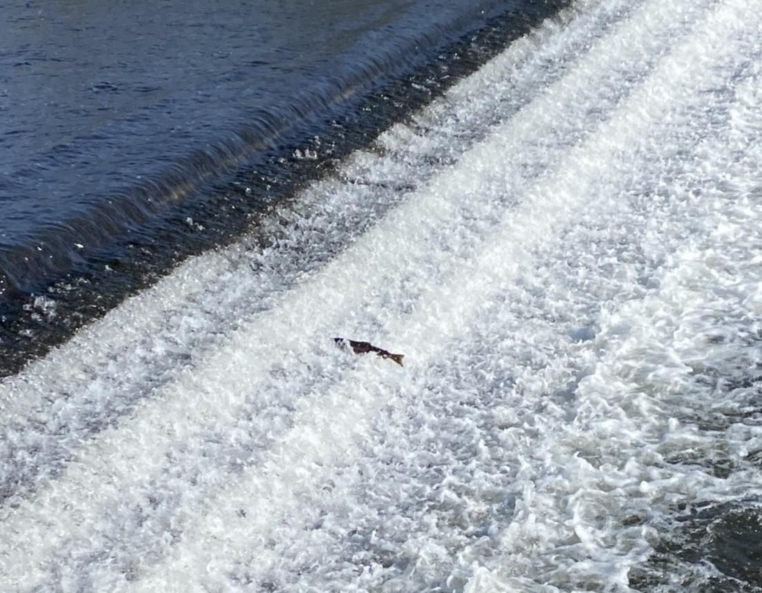 鮭 堰を越える