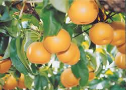 Pears of Sekijo Town